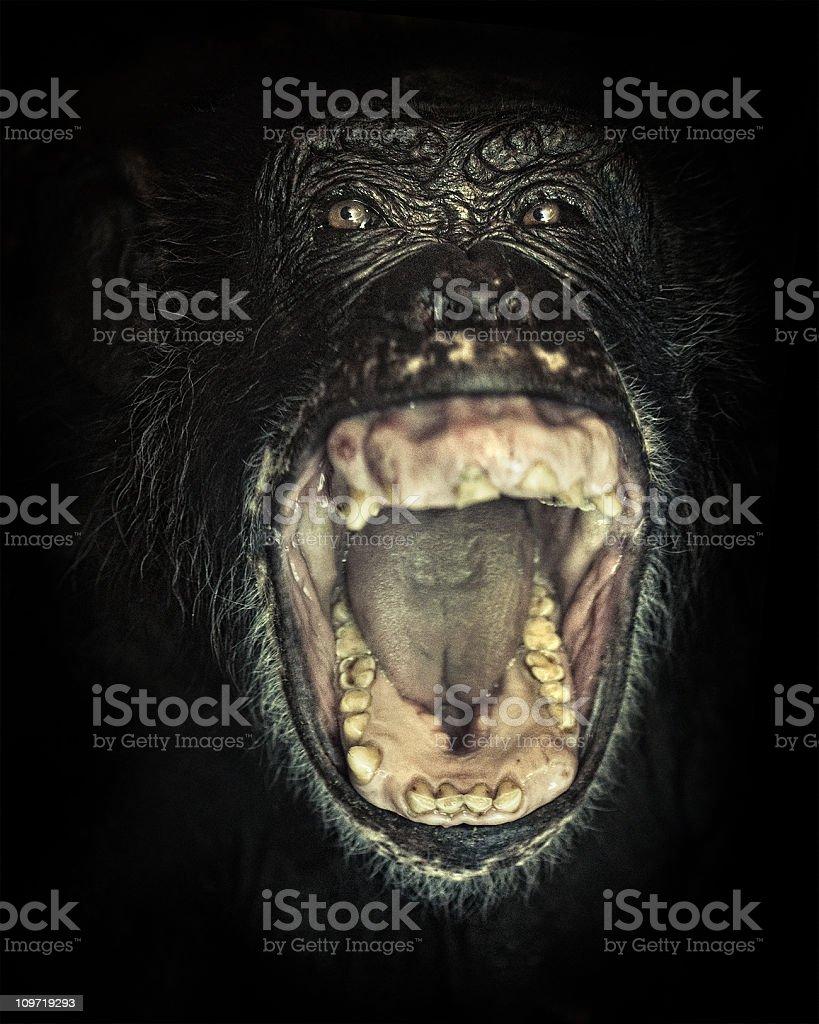 chimpanzee screaming stock photo