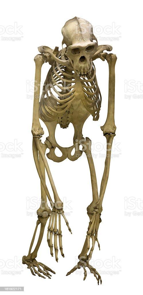 chimpanzee skeleton isolated on white royalty-free stock photo