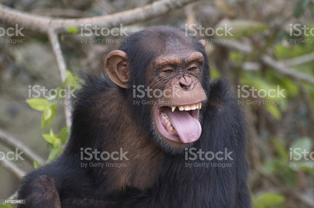 Chimpanzee smiling 3 royalty-free stock photo