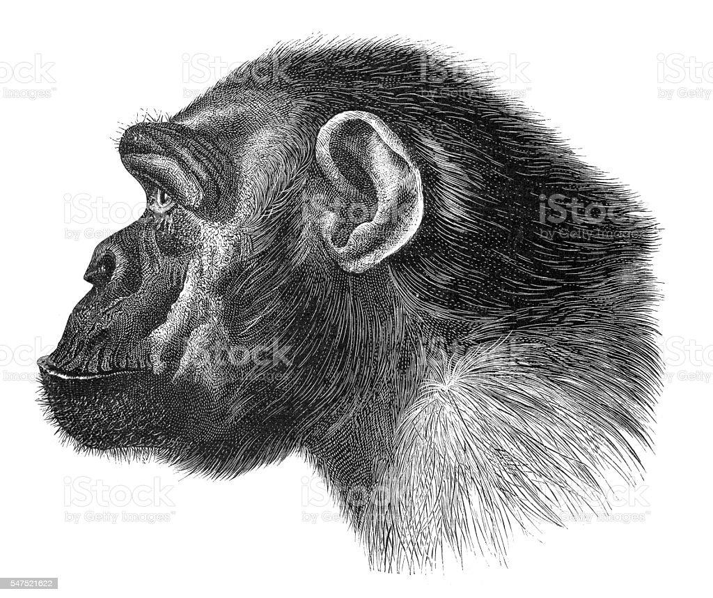 Chimpanzee Tschego portrait engraving 1880 stock photo