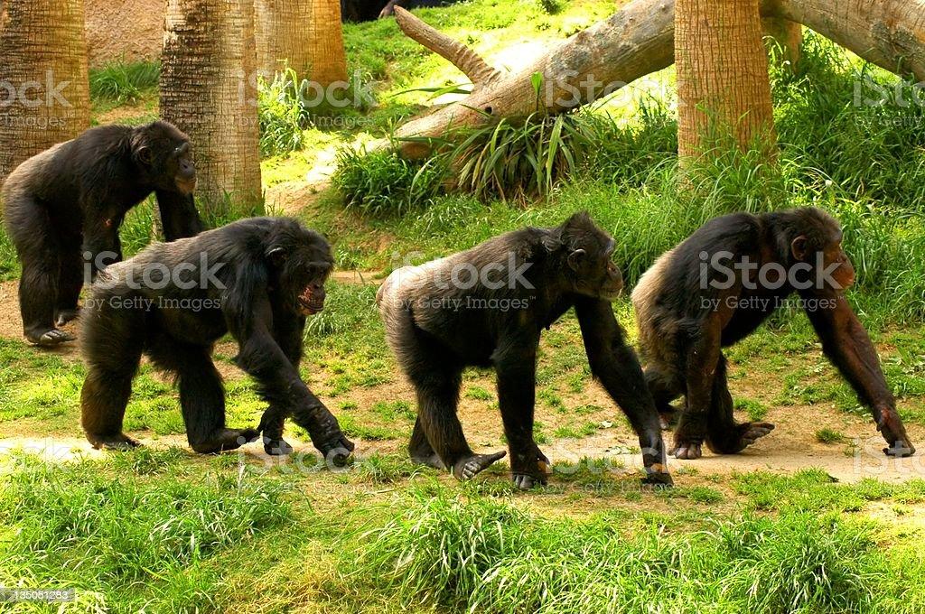 chimpanzees marching royalty-free stock photo