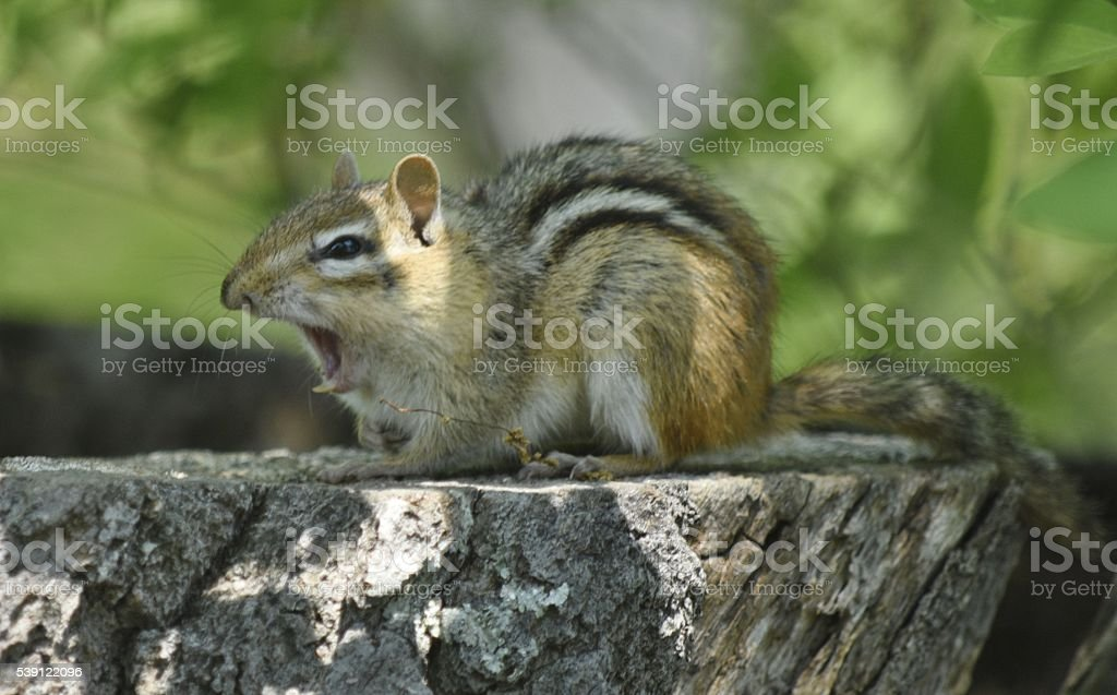 Chimpmunk yawns widely stock photo