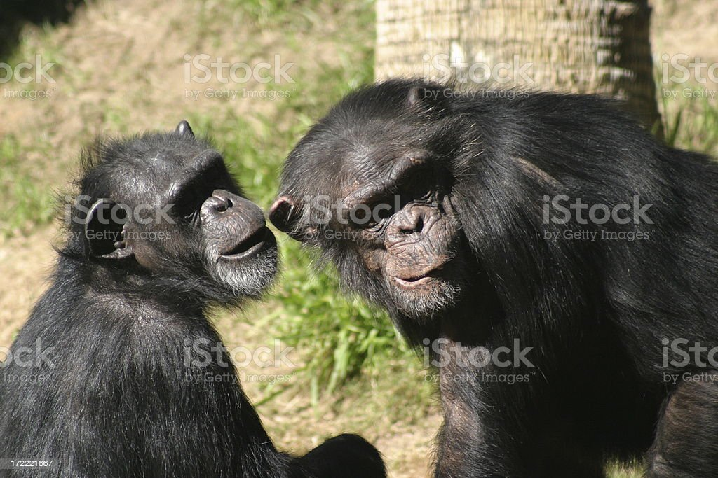 Chimps royalty-free stock photo