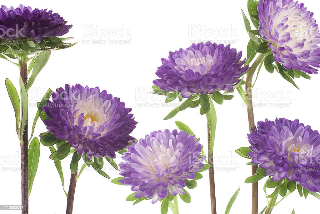 china aster royalty-free stock photo