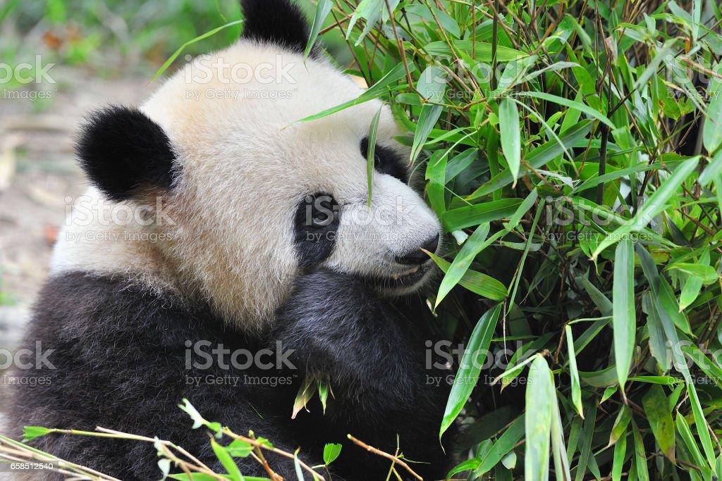 China Giant Panda stock photo
