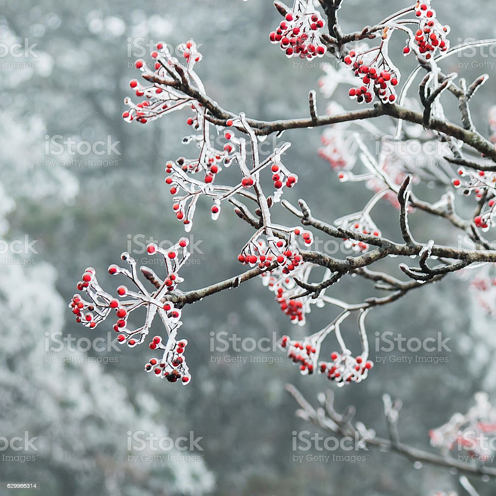 China Huangshan scenic snow plant is very beautiful stock photo