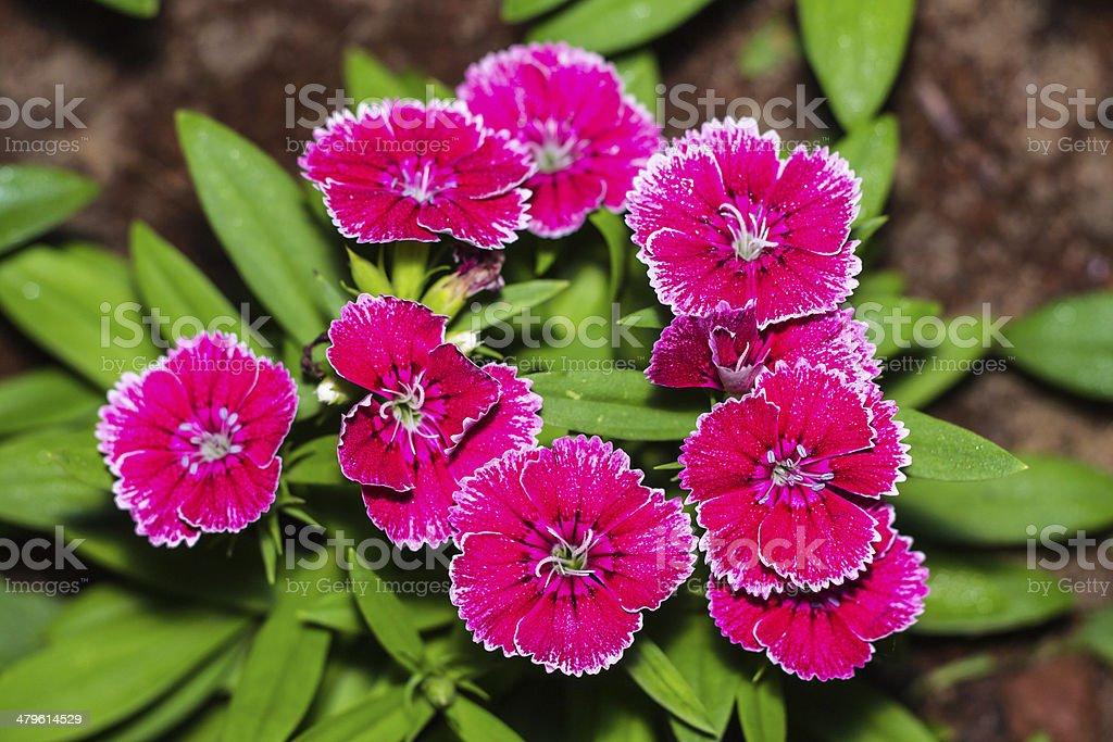 China Pink, Dianthus stock photo