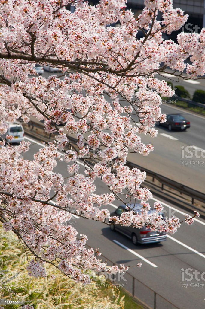 China Road and cherry blossoms