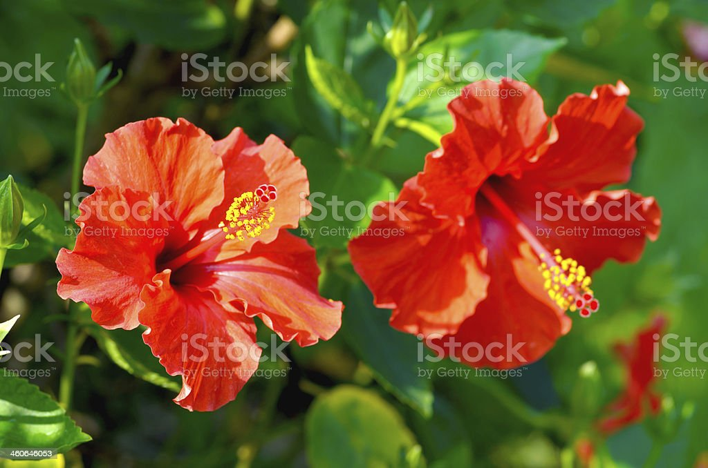 China Rose close up on tree stock photo