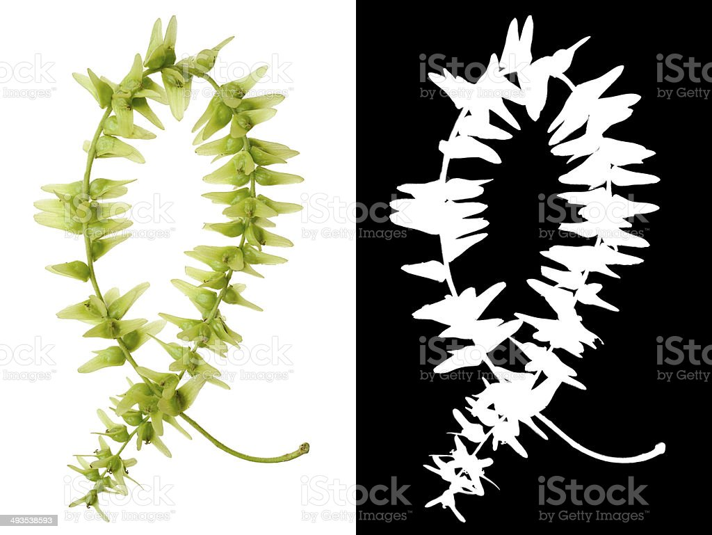 China Wingnut with layer mask stock photo