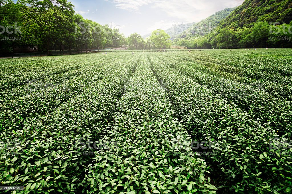 China's tea garden stock photo