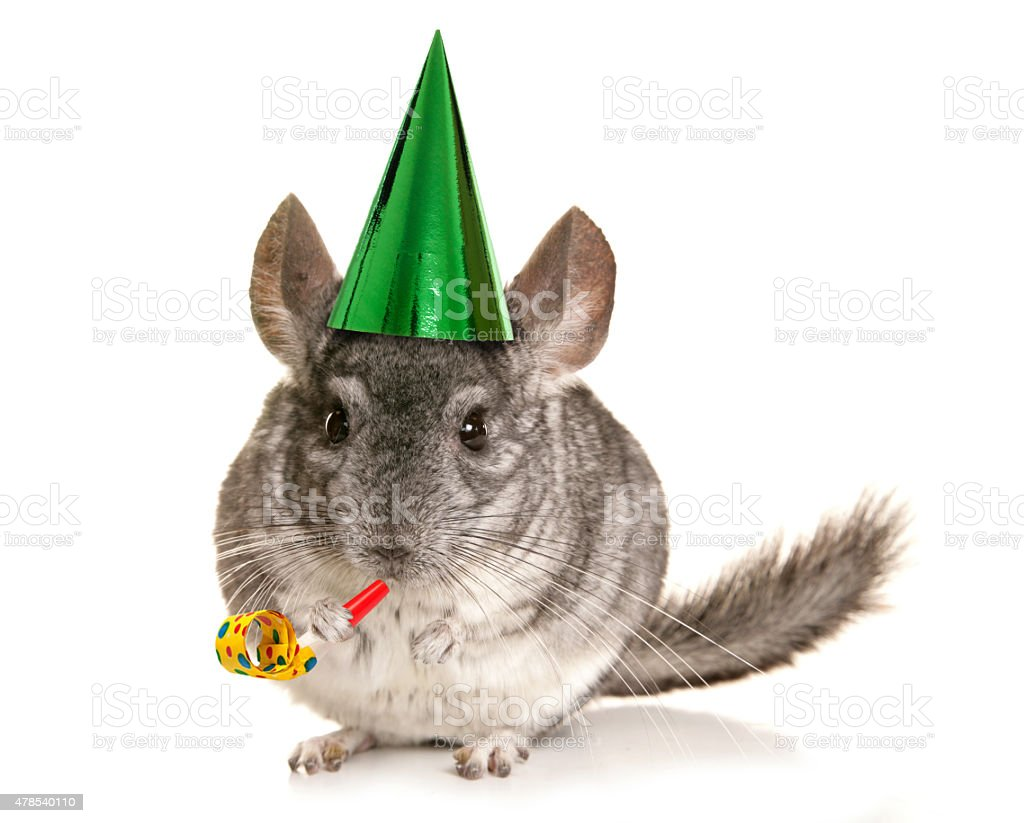 Chinchilla birthday party stock photo