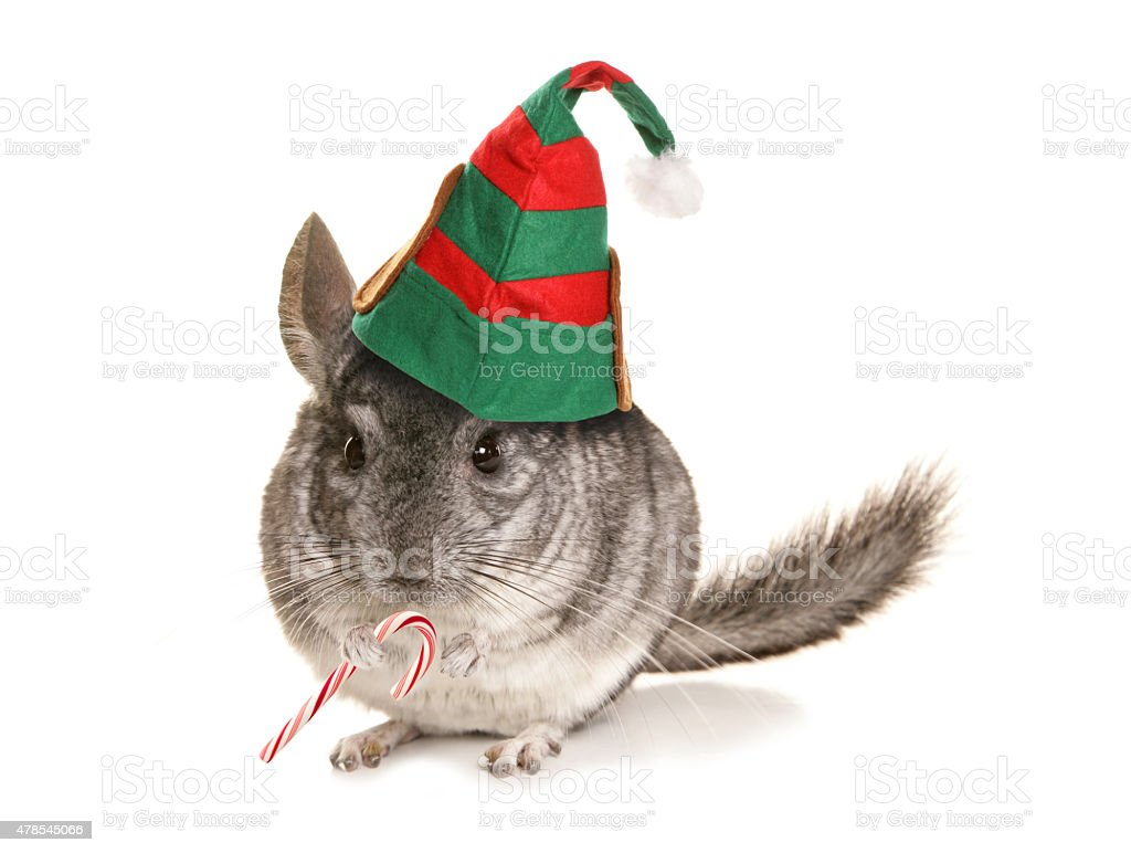Chinchilla christmas elf stock photo