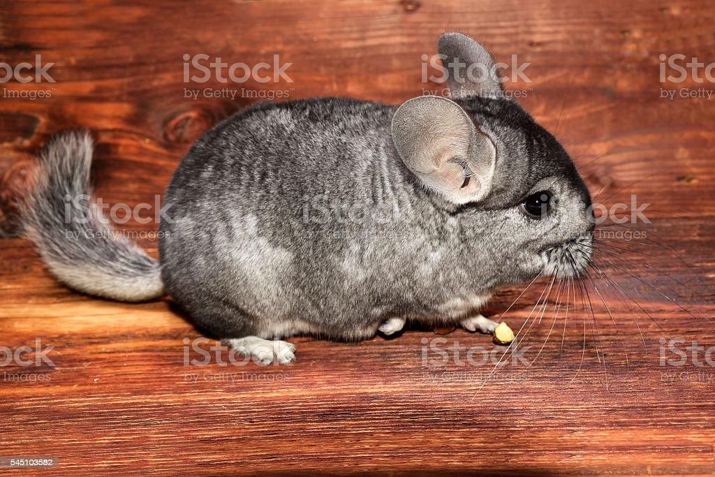 Chinchilla on a wood background stock photo