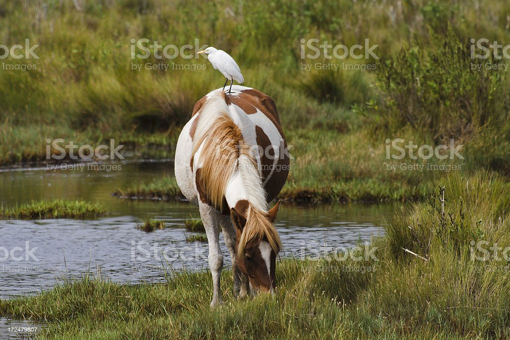 Chincoteague NWR Pony With Hitchiker stock photo