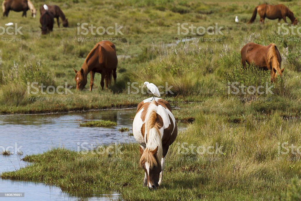Chincoteague Ponies Grazing stock photo