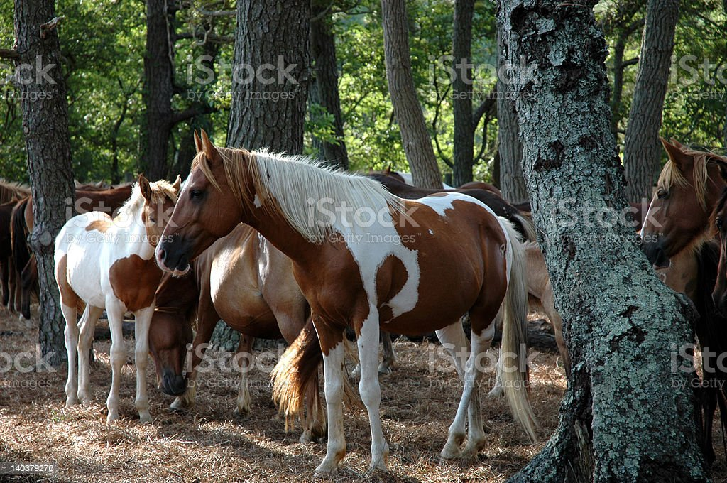 Chincoteague Ponies stock photo