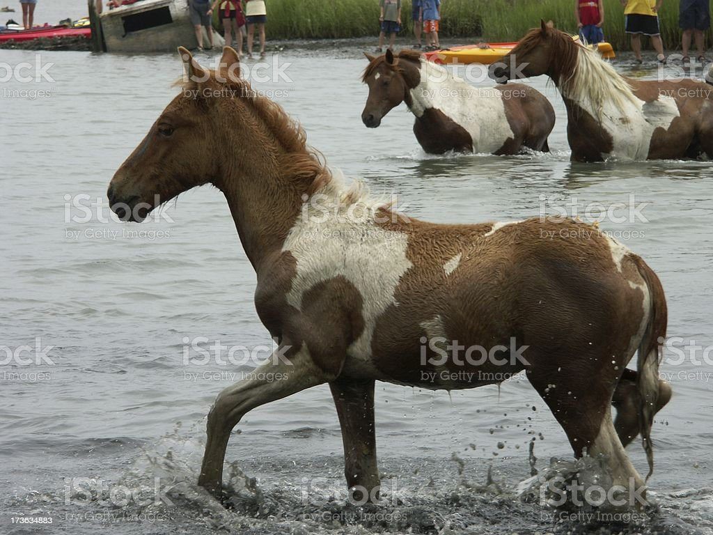 Chincoteague Pony Swim stock photo