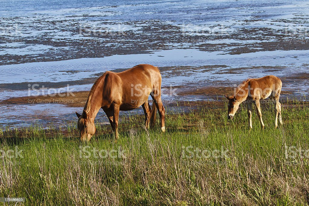 Chincoteague Pony With Foal Close Behind stock photo