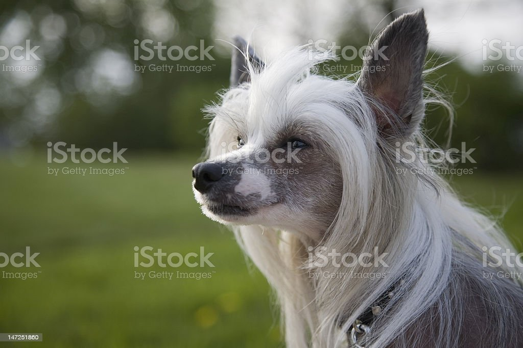chineese crested dog royalty-free stock photo