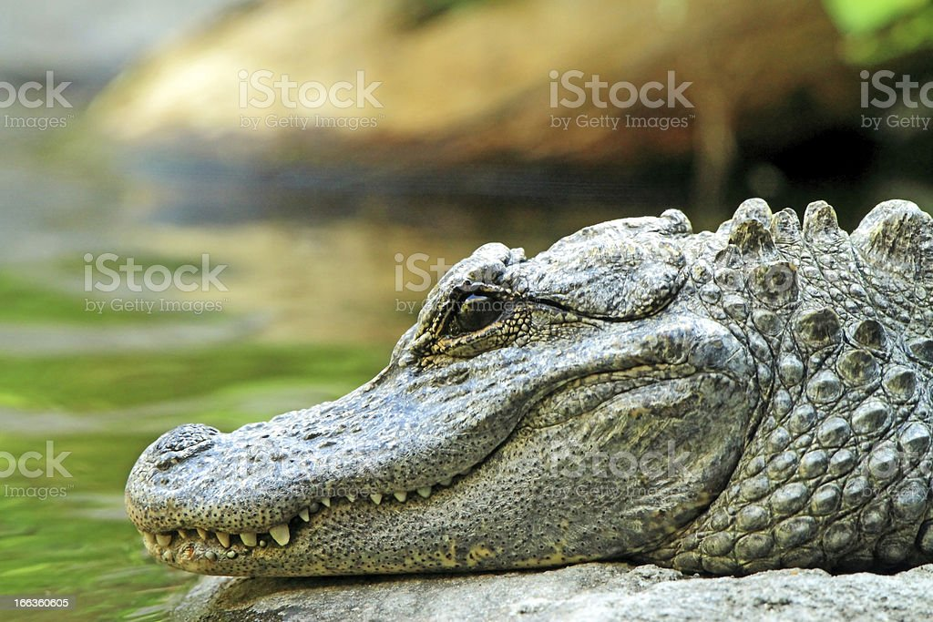 Chinese Alligator royalty-free stock photo