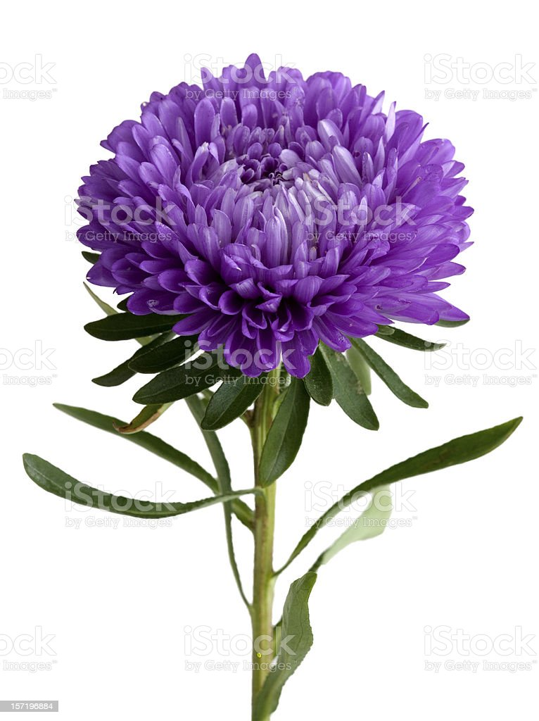 Chinese Aster (Callistephus chinensis) royalty-free stock photo