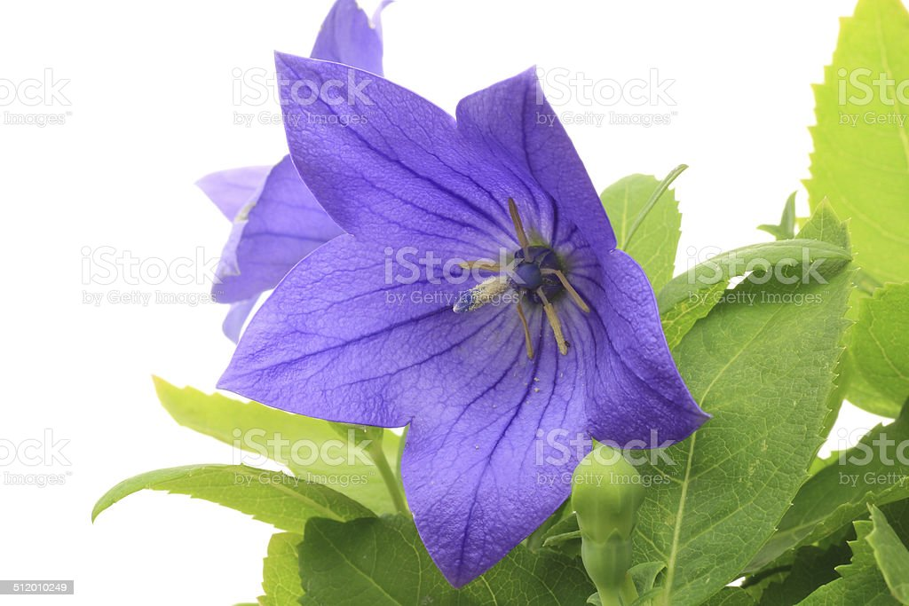Chinese bellflower in  a white background stock photo