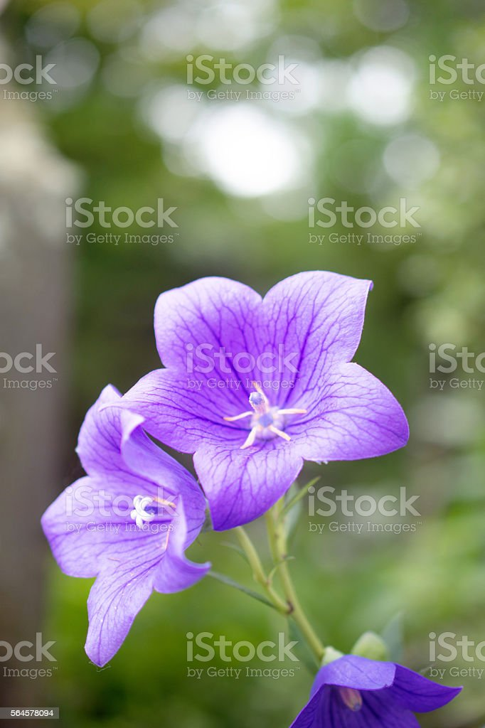 Chinese bellflower stock photo