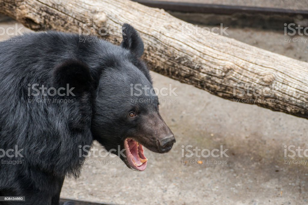 Chinese black bear stock photo