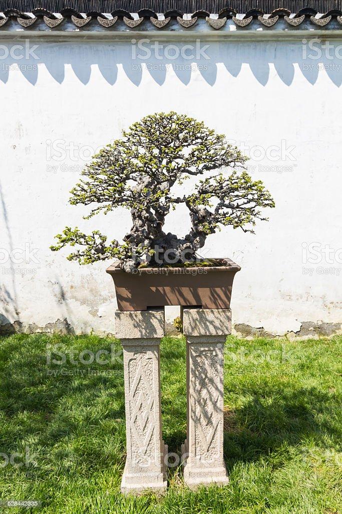 Chinese bonsai stock photo
