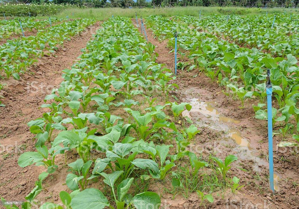 Chinese cabbage plantation stock photo