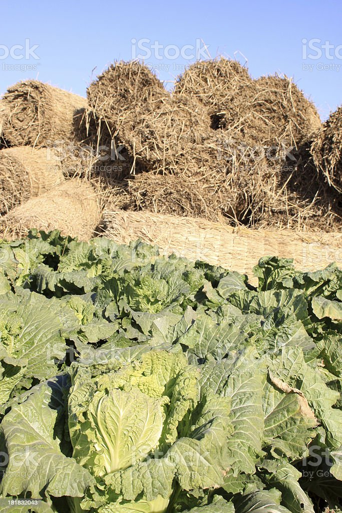 chinese cabbages and straw curtain royalty-free stock photo