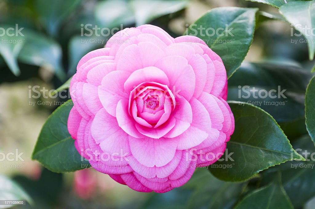 chinese  Camellia royalty-free stock photo