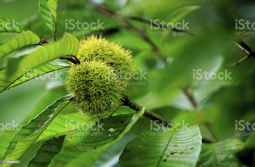 chinese chestnuts fruit grow on tree stock photo