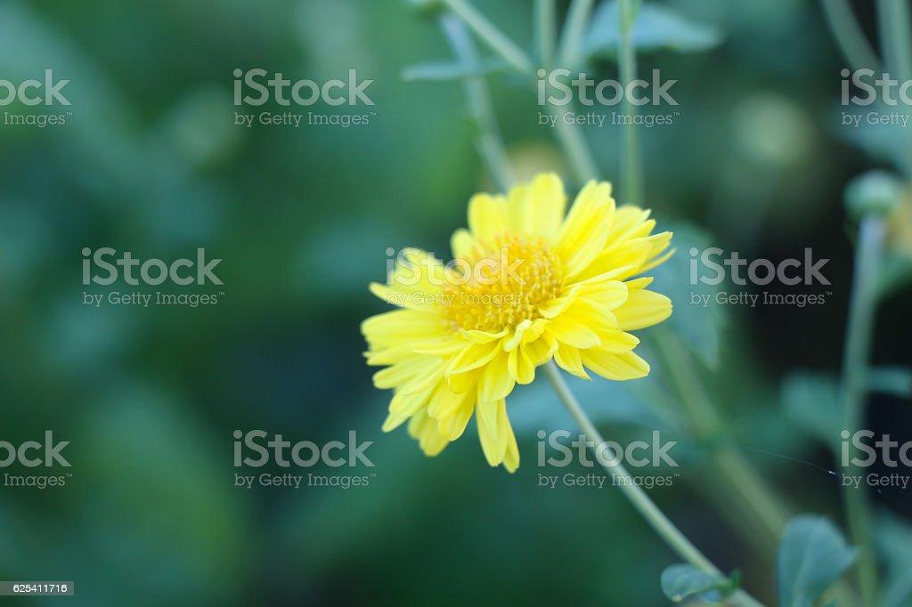 Chinese chrysanthemum flower stock photo