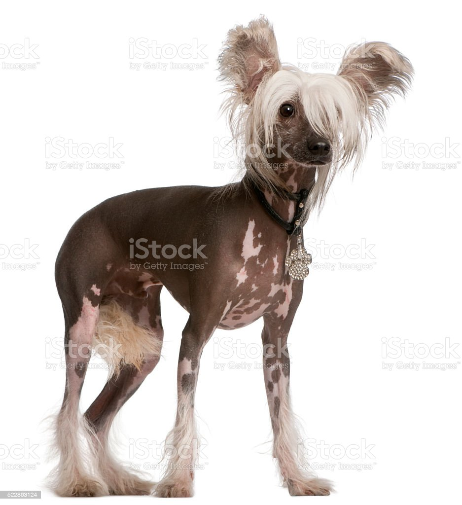 Chinese Crested Dog, 10 months old, standing stock photo