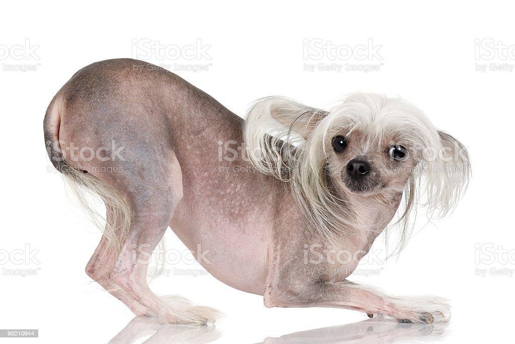 Chien chinois cr tesans poils stock photo libre de - Enlever poil de chien voiture ...
