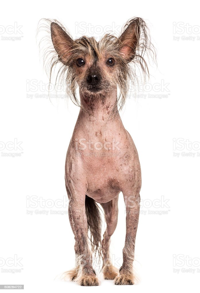 Chinese Crested dog in front of a white background stock photo