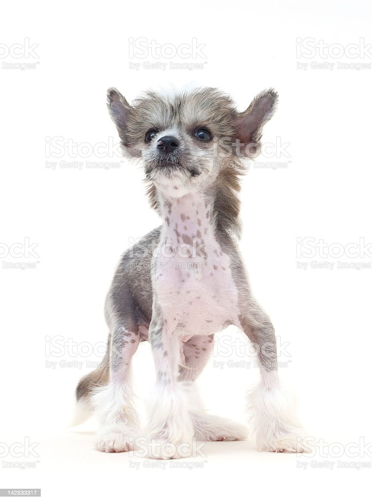 Chinese Crested Dog royalty-free stock photo