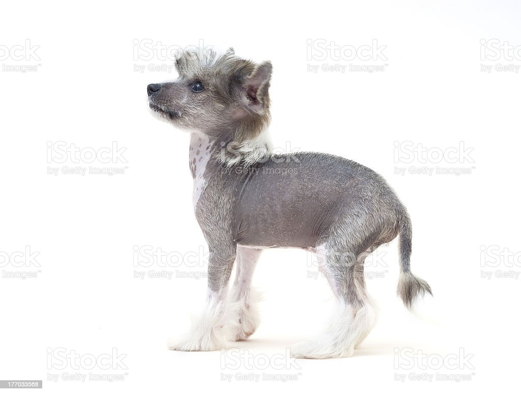 Chinese Crested Dog royalty-free stock photo