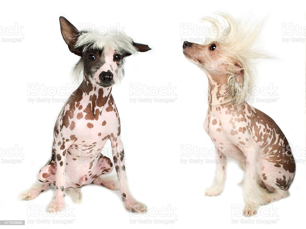 Chinese Crested Dog puppy stock photo