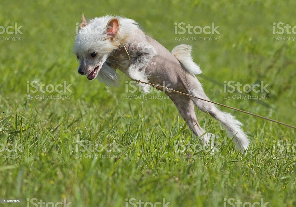 Chinese crested dog puppy playing royalty-free stock photo