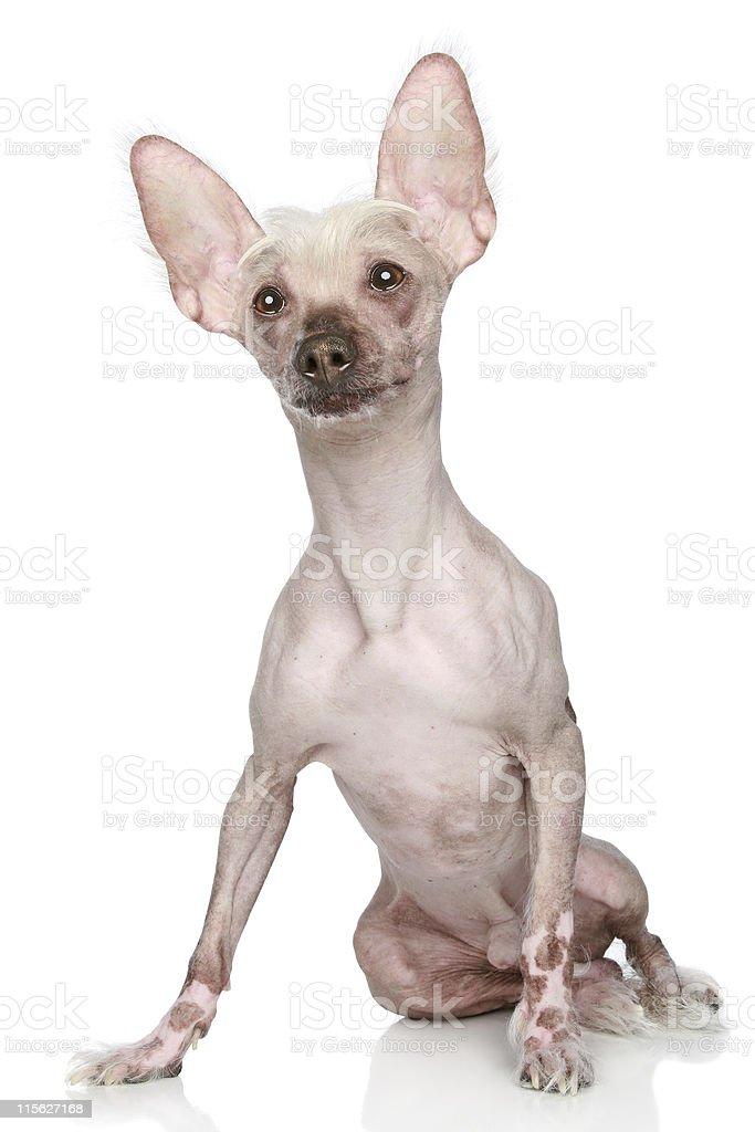 Chinese Crested dog sitting on a white background stock photo