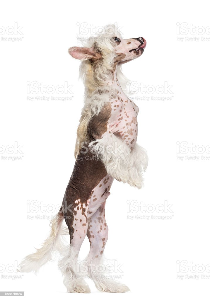 Chinese Crested dog standing on hind legs and looking up stock photo