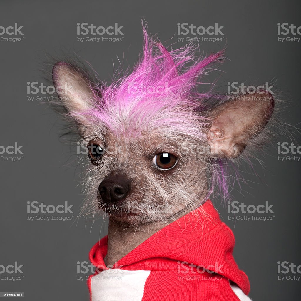 Chinese Crested Dog with pink mohawk stock photo