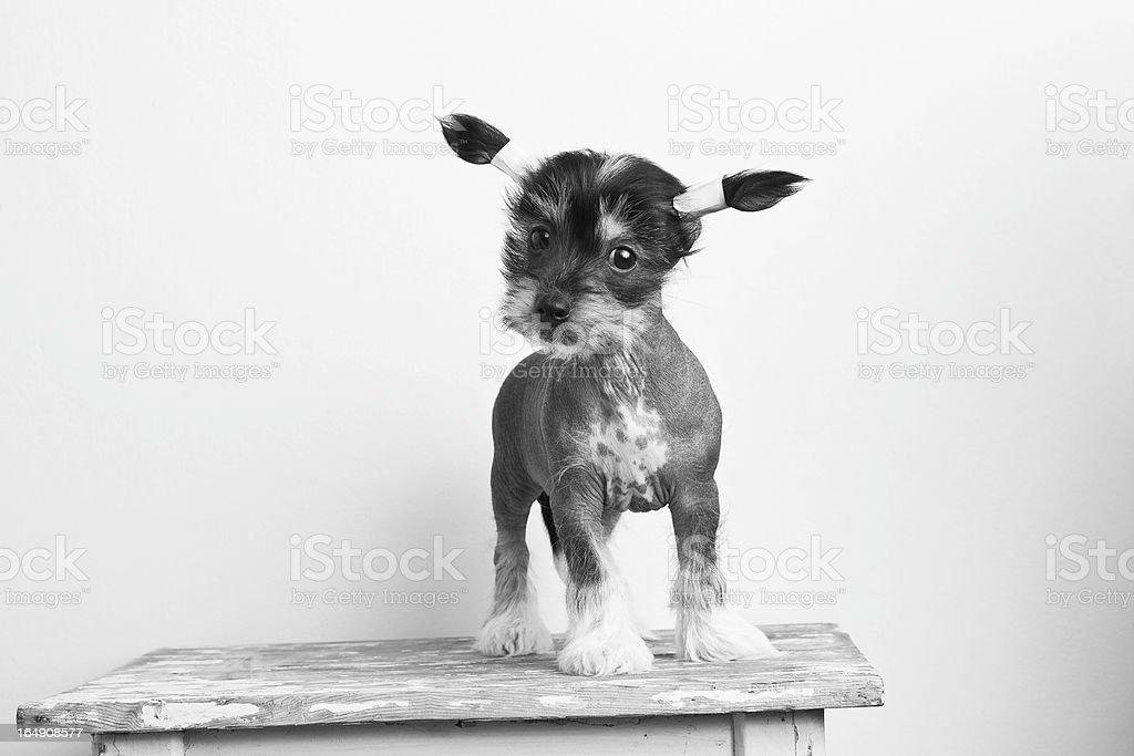 Chinese crested puppy stock photo