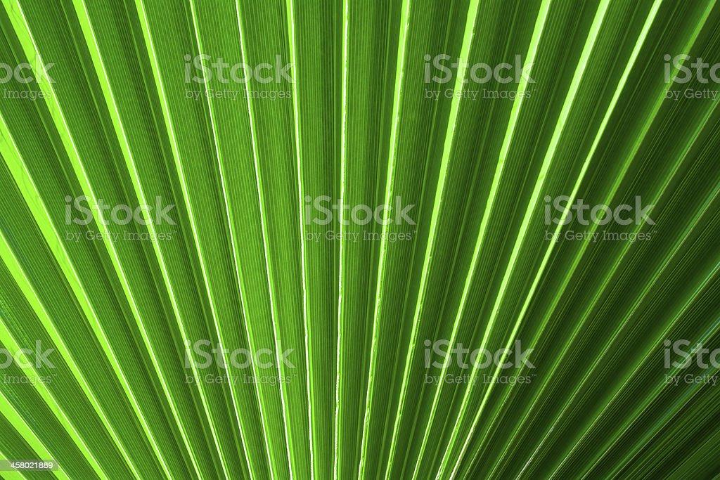 Chinese fan palm royalty-free stock photo