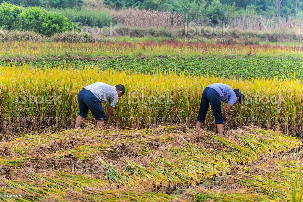 Chinese farmers harvested rice stock photo