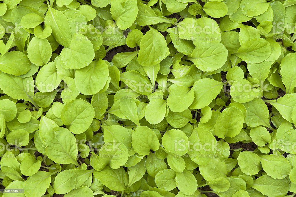 Chinese flowering cabbage on vegetable plot royalty-free stock photo