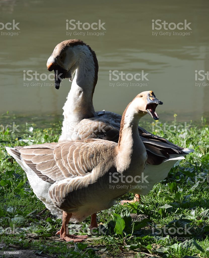 Chinese Geese (Swan Geese) by the water's edge stock photo